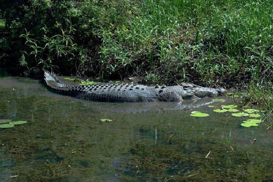Crocodile in Nitmiluk National Park